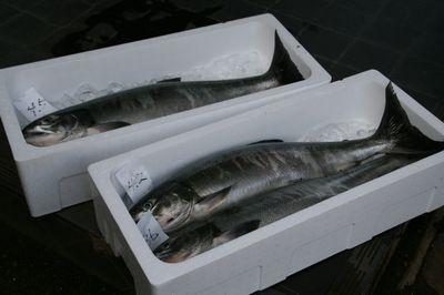 箱詰の鮭.jpg