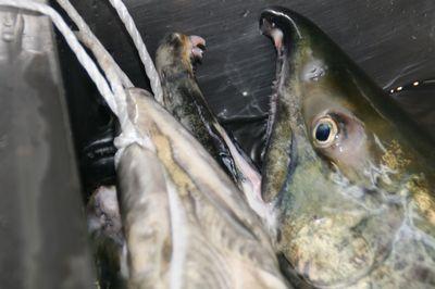 鮭の顔.jpg
