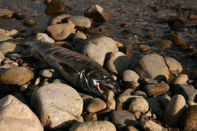 横たわる鮭.jpg