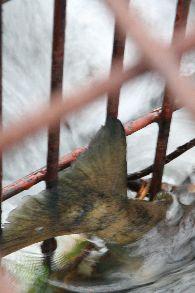 一括採捕の鮭.jpg