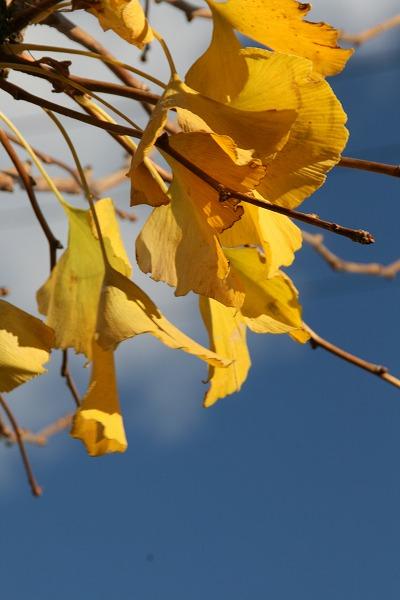 銀杏の葉と青空.jpg