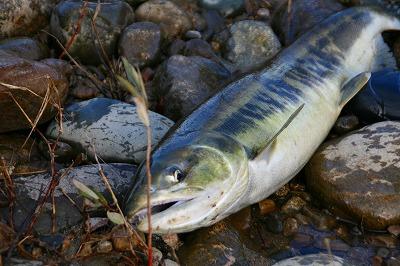 荒川の鮭様.jpg