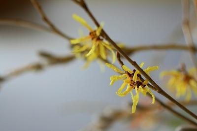 マンシャクの花.jpg