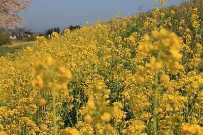 荒川の菜の花.jpg