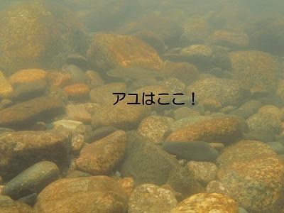 水中のアユ(鮎).jpg