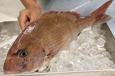 日本海の鯛.jpg
