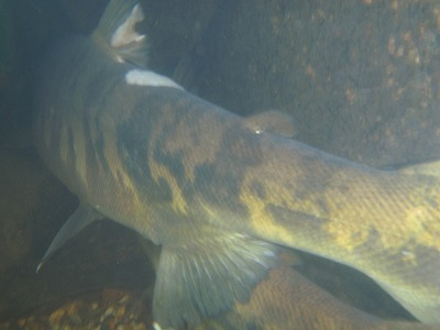 荒川の鮭の尾.jpg