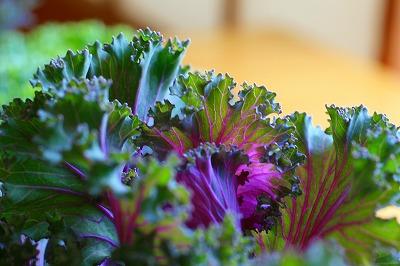 ちりめん葉牡丹の紫.jpg