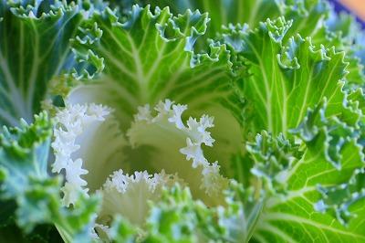 ちりめん葉牡丹の緑.jpg