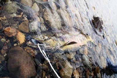 荒川のサケ(鮭)1.jpg