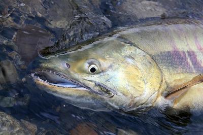 荒川のサケ(鮭)2.jpg