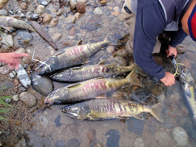 荒川の鮭1.jpg