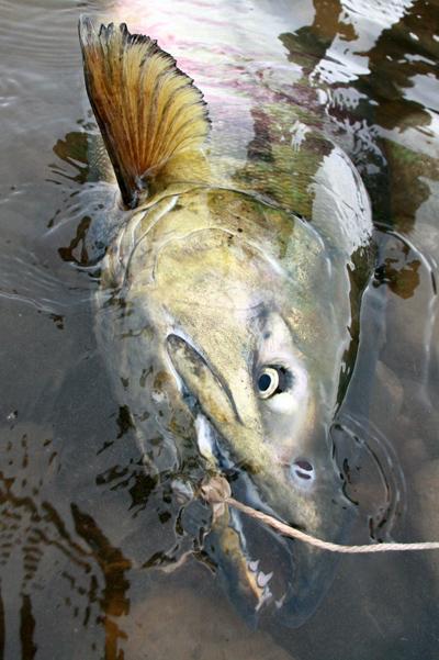 10kgのオス鮭.jpg